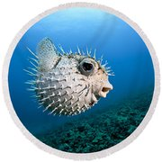 Spotted Porcupinefish Round Beach Towel
