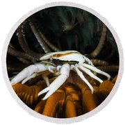 Squat Lobster Carrying Eggs, Indonesia Round Beach Towel