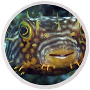 Striped Burrfish On Caribbean Reef Round Beach Towel