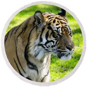 Sumatran Tiger Portrait  Round Beach Towel