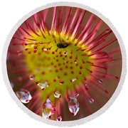 Sundew With Digested Food, British Round Beach Towel
