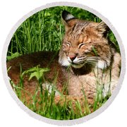 The Bobcat's Afternoon Nap Round Beach Towel