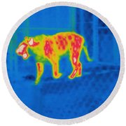 Thermogram Of A Tiger Round Beach Towel