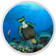 Titan Triggerfish Picking At Coral Round Beach Towel