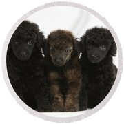 Toy Poodle Pups Round Beach Towel