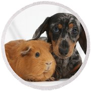Tricolor Merle Dachshund Pup And Red Round Beach Towel