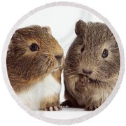 Two Young Guinea Pigs Round Beach Towel