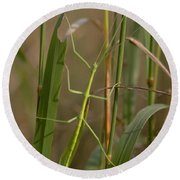 Walking Stick Insect Round Beach Towel
