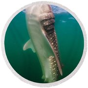 Whale Shark, La Paz, Mexico Round Beach Towel