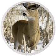 White-tailed Deer In A Snow-covered Round Beach Towel