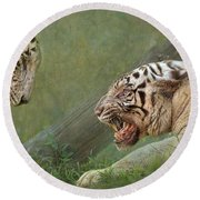 White Tiger Growling At Her Mate Round Beach Towel