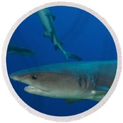 Whitetip Reef Shark, Papua New Guinea Round Beach Towel by Steve Jones