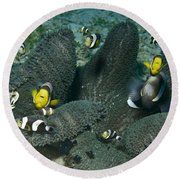 Whole Family Of Clownfish In Dark Grey Round Beach Towel by Mathieu Meur