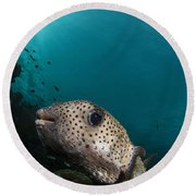 Wide-angle Image Of Pufferfish, Raja Round Beach Towel