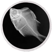 X-ray Of A Humphead Glassfish Round Beach Towel