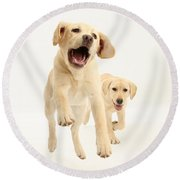 Yellow Labrador Pups Leaping And Running Round Beach Towel