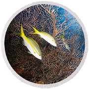 Yellowtail Snappers And Sea Fan, Belize Round Beach Towel