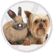 Yorkshire Terrier And Young Rabbit Round Beach Towel