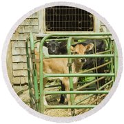 Young Calf In Fence Pen Near Barn Summer Maine Round Beach Towel