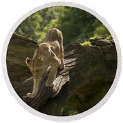 Young Lion Stalking Round Beach Towel