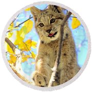 Young Lynx In A Tree Round Beach Towel