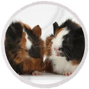 Young Tricolour Guinea Pigs Round Beach Towel