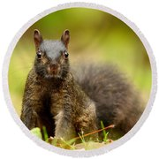 Curious Black Squirrel Round Beach Towel by Mircea Costina Photography