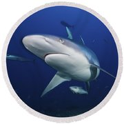 A Large Silvertip Shark, Fiji Round Beach Towel by Terry Moore