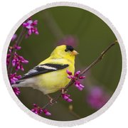 American Goldfinch In Redbud Round Beach Towel