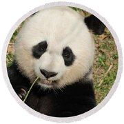 Bamboo Sticking Out Of The Mouth Of A Giant Panda Bear Round Beach Towel