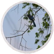 Blue Jay In Tree Round Beach Towel