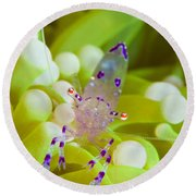 Commensal Shrimp On Green Anemone Round Beach Towel by Steve Jones
