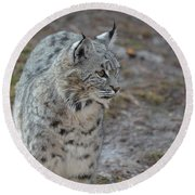 Curious Wandering Bobcat Round Beach Towel