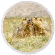Himalayan Marmots Pair Kissing In Open Grassland Ladakh India Round Beach Towel
