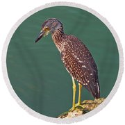 Juvenile Black Crowned Night Heron Round Beach Towel