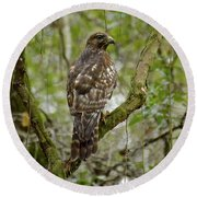 Juvenile Short-tailed Hawk Round Beach Towel