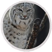Lynx Perched In A Tree Round Beach Towel