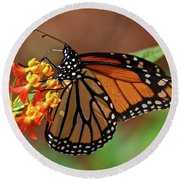 Monarch On Milkweed Round Beach Towel