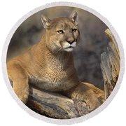 Mountain Lion Felis Concolor Round Beach Towel