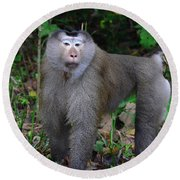Pig-tailed Macaque Round Beach Towel