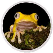 Red-eyed Treefrog, Xanthic Form Round Beach Towel