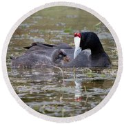 Red Knobbed Coot Round Beach Towel