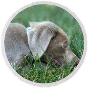 Silver Labrador Retriever Puppy  Round Beach Towel