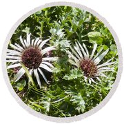 Stemless Carline Thistle Carlina Acaulis Round Beach Towel