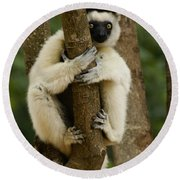 Verreaux's Sifaka Round Beach Towel