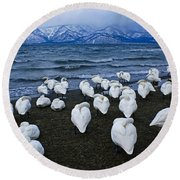 Whooper Swans In Winter Round Beach Towel