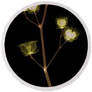 X-ray Of The Velvet Leaf Seed Pods Round Beach Towel