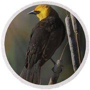 Yellow Headed Blackbird On Cattails Round Beach Towel