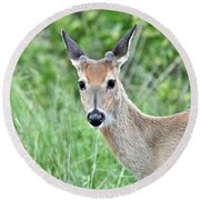 Young White-tailed Buck In Velvet Round Beach Towel