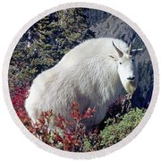 1m4900 Mountain Goat Near Mt. St. Helens Round Beach Towel